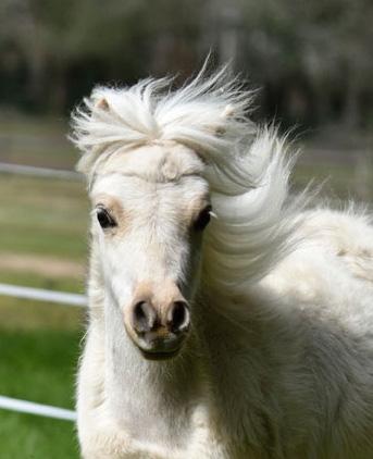 Palomina notre deuxième mini cheval