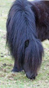 Notre mini-cheval Cayrone 1