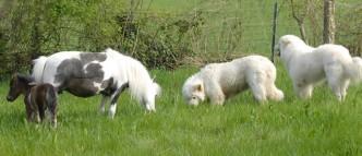 Mini chevaux et chiens